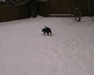 My dog is black and looks very impressive in the snow.